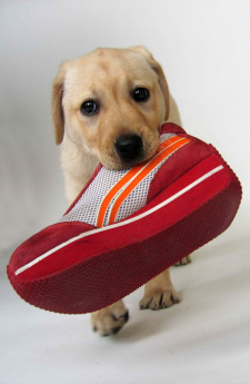 Eight week old yellow Lab puppy with red shoe in his mouth