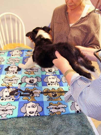 The veterinarian checks puppy's hips by holding his back legs in the air while the dog stands on her front legs.