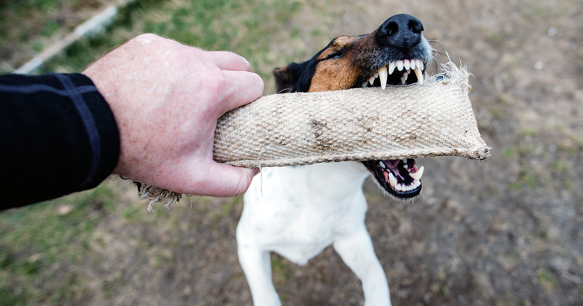 A Jack Russell puppy is biting into a chew stick which is being held by a man's hand.
