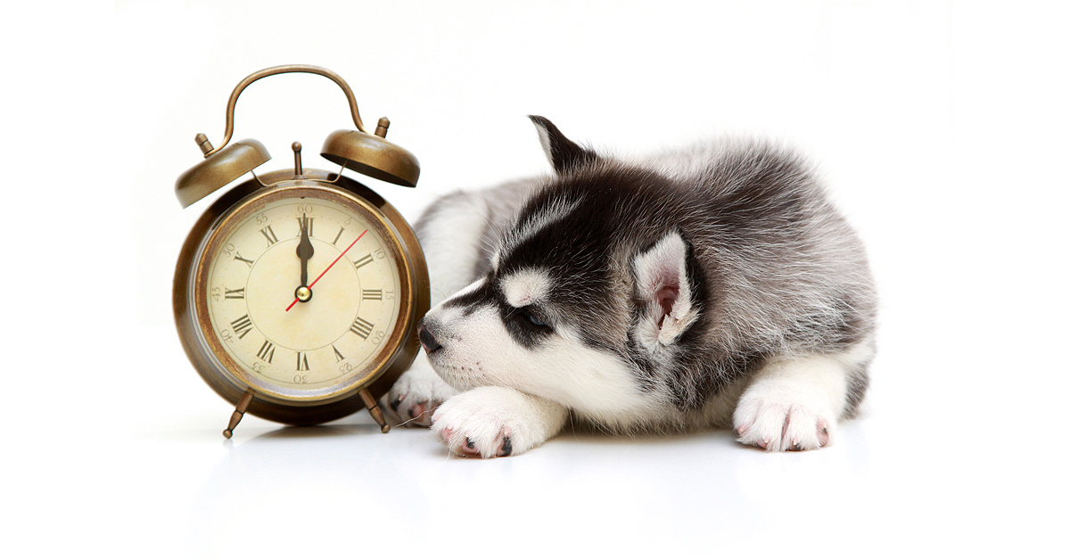An 8 week old Huskie puppy lies to the right of an alarm clock. His nose resting up against the clock.