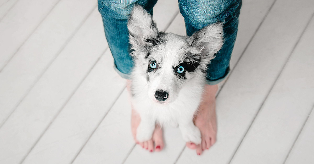 A white and black puppy is staring upwards while standing between and woman's legs, with it's paws on her feet. Clearing looking up at her face.