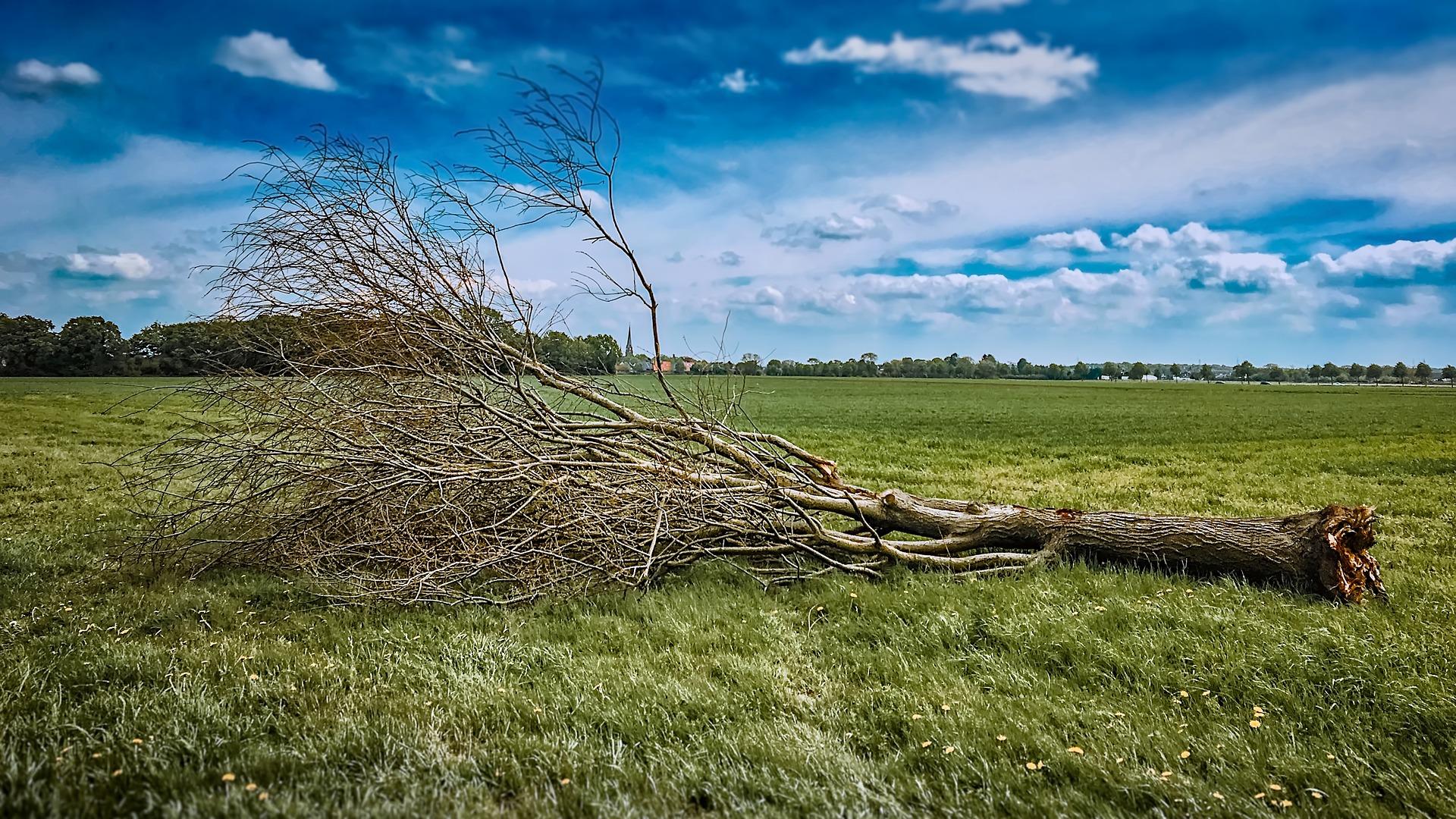 alberi sradicati