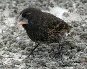 Il Big Bird: padre