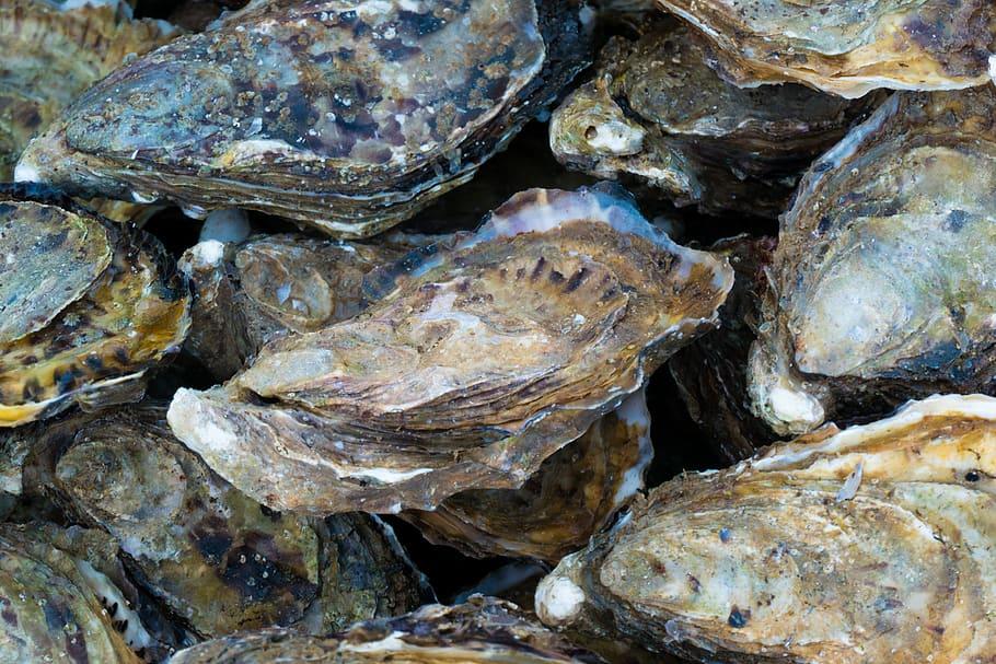 le ostriche salvano i mari