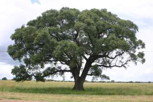 The marula tree