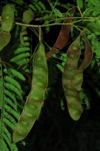 Ubobo/ Adenopodia spicata