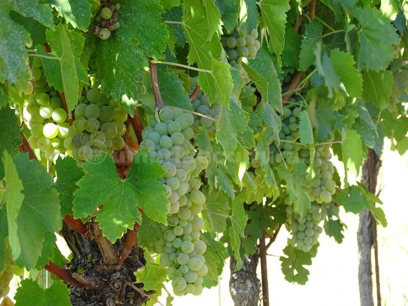 festa del vino grechetto di todi antiossidanti frutta