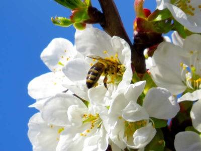 api ape su fiore il miele delle meraviglie