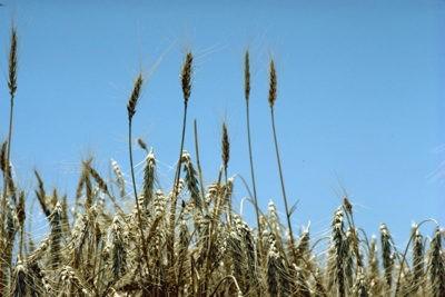 Casalina: Genetica cereali, incontro tra agricoltori e operatori di settore