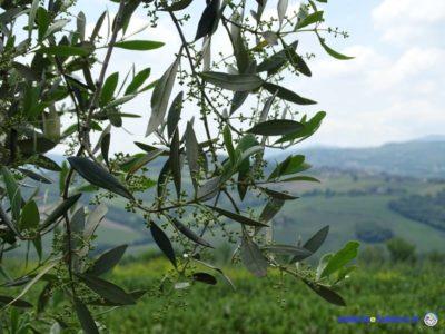 olivo olivicoltura