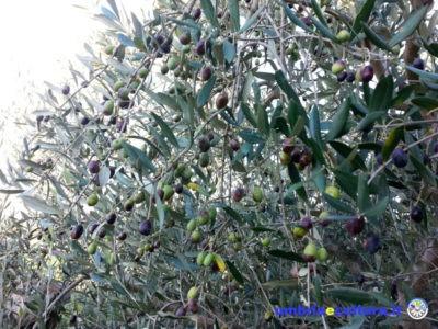 olive olio polifenolio day paesaggio olivato autunno a foligno oro di spello