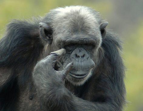 scimpanzè darwin day