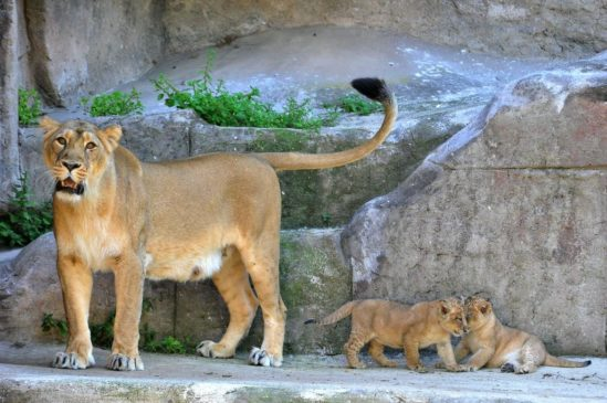 leone asiatico bioparco