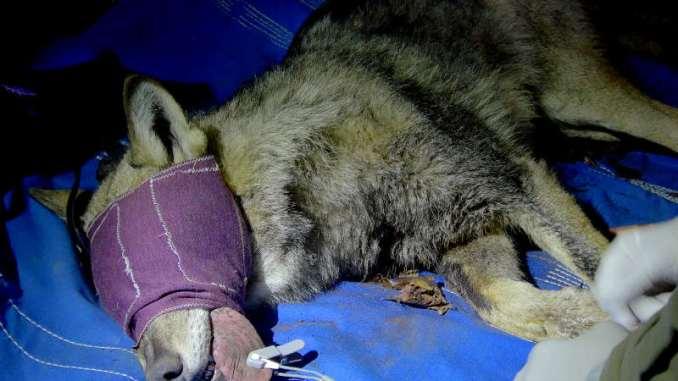 Wolfnet 2.0, catturata una femmina di lupo a Visso