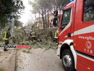 Si schianta albero a Belfiore di Foligno vicino alla scuola, nessun danno