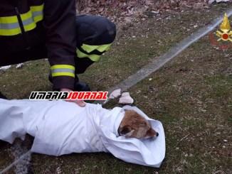 Volpe scivola in un laghetto, salvata dai Vigili del fuoco a Fossato di Vico