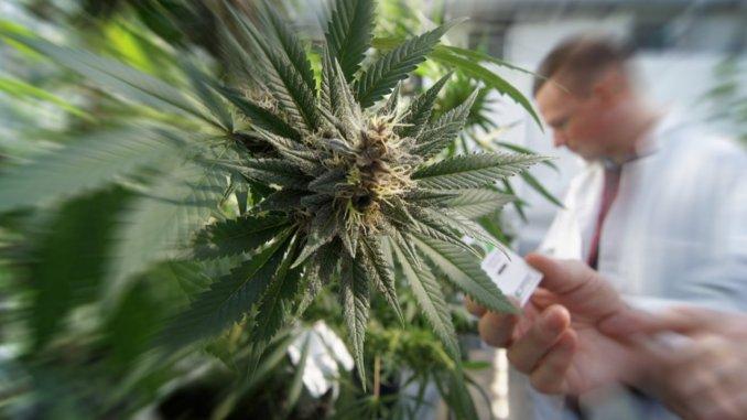 Cannabis Terapeutica, farmaco o droga? Sostanza da sistema sanitario nazionale
