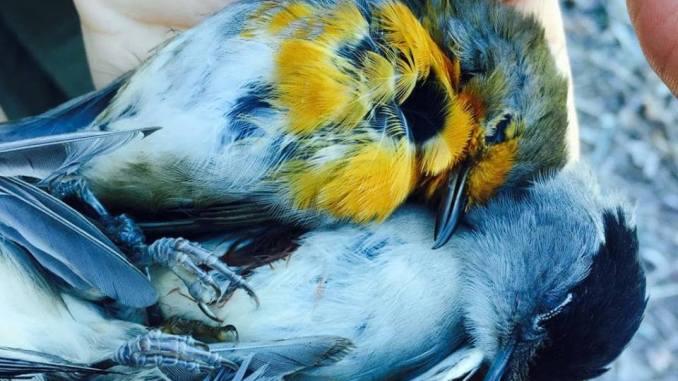 Caccia, preapertura illegittima, WWF chiede danni alla regione