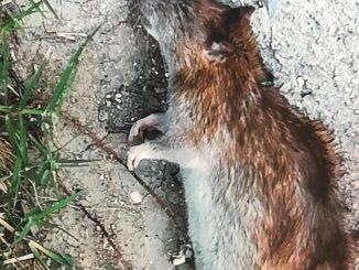 Perugia invasa dai topi, associazione FilosofiAmo invia appello al comune