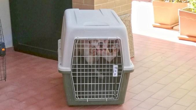 Cani boxer liberati dai carabinieri forestali, erano prigionieri e maltrattati
