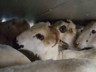 Polstrada blocca carico di 550 capre, erano destinate a Foligno