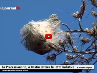 Bastia Umbra giovedì esperti colpiranno i nidi di processionaria, nessuna paura