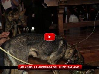 Ad Assisi una giornata dedicata al lupo italiano
