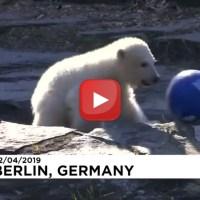 Tutti con Hertha, si chiama così il cucciolo d'orso polare