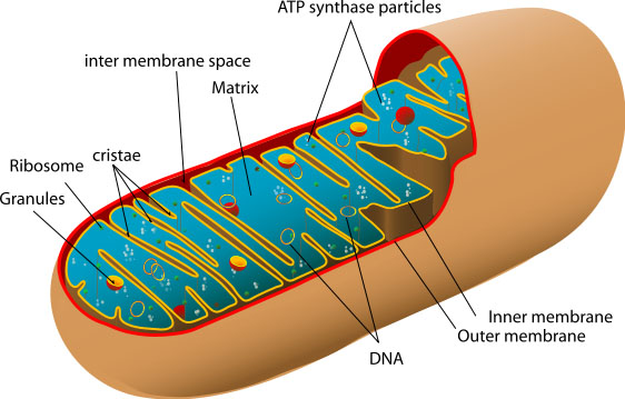 What Is Mitochondrial Disease Umdf