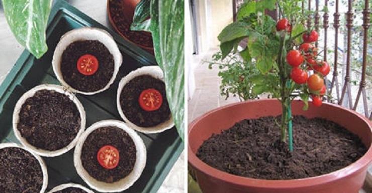 Plante e colha seu próprio tomate sem veneno mesmo sem espaço usando um simples utensilio.