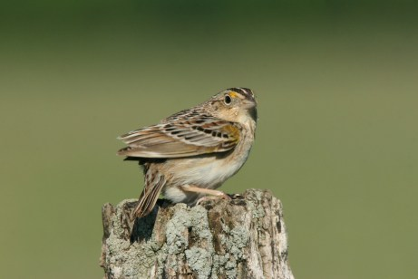 Grasshopper SparrowThe grasshopper sparrow takes its name from its diet and its inset-like song. Song: Two staccato notes followed by a buzz Habitat: Grassland Identifying features: Small, brownish with an unmarked breast