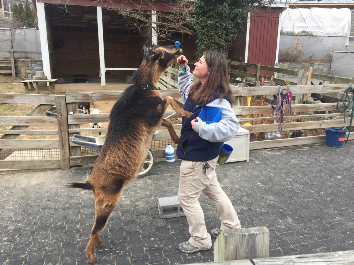 Nikki Maticic '14 earned her stripes - and a UMW biology degree - after impactful study abroad trips to South Africa and the Galápagos Islands. She's now an animal keeper at the Smithsonian's National Zoo. Photo courtesy of Nikki Maticic.