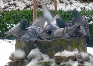 Tauben baden im warmen Wasser bei Eis und Schnee