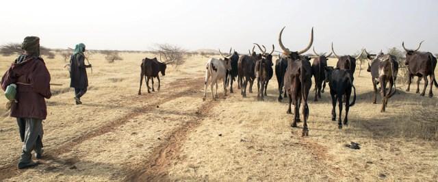 Vacas en los extensos pastizales áridos del sur de Texas (Estados Unidos). Foto ONU/EFP.