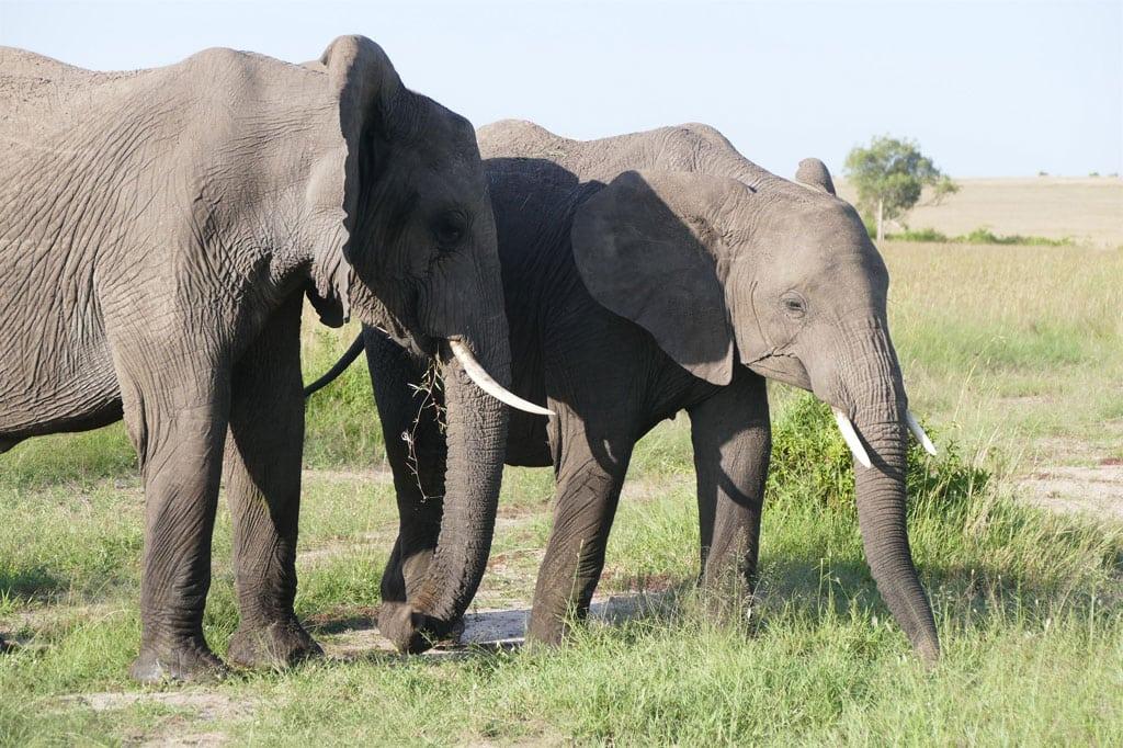 Elefantes Africanos en la Reserva Nacional de Maasai Mara en Kenya. Foto: PNUMA Arendal/Peter Prokosch