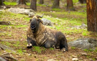 Photo: The takin, also called cattle chamois or gnu goat, is a goat-antelope found in the eastern Himalayas and is the national animal of Bhutan.