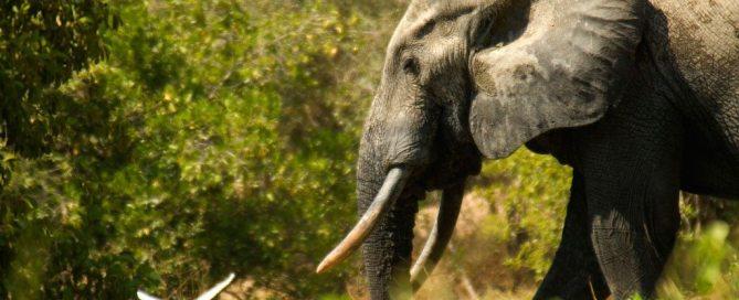 Photo: An elephant in Ghana