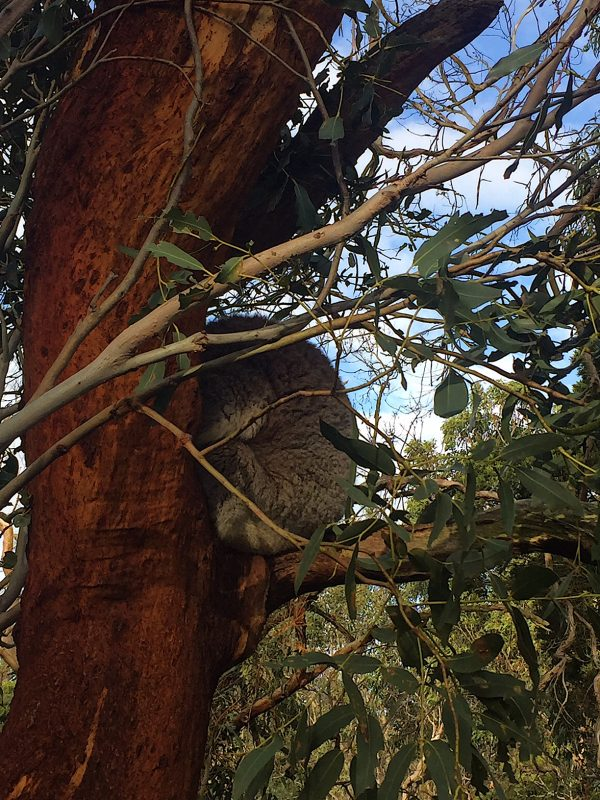 Incontro con i Koala