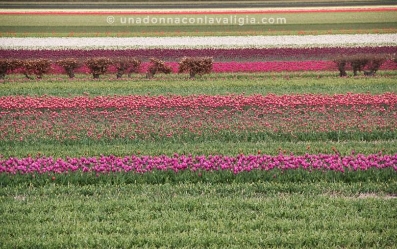 campi-fioriti-olanda