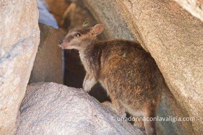 wallaby australia