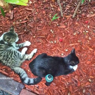 gatti casa hemingway