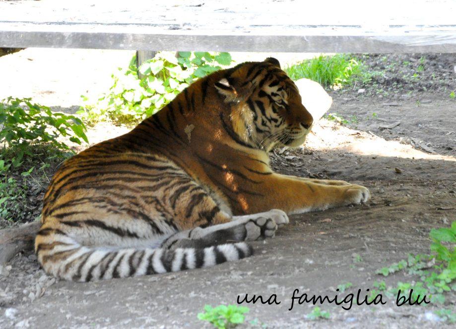 zoo Lubiana Tigre