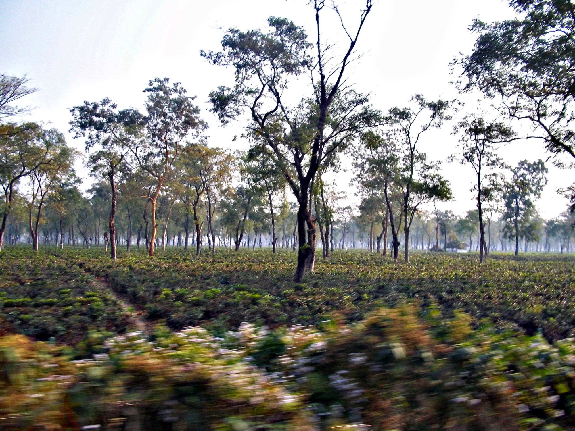 What are some quick facts about Tea Gardens in Assam, northeast India?