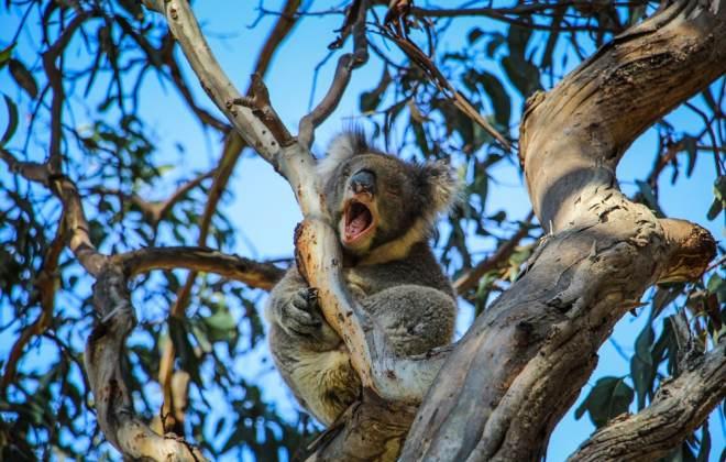 Koala à Kennett River, Great Ocean Road