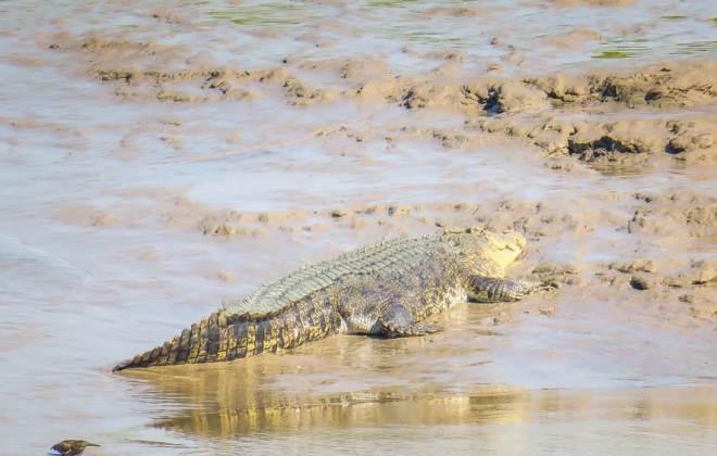 Crocodile au parc national de Kakadu