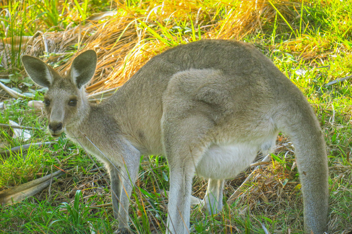 Kangourou Stradbroke Island