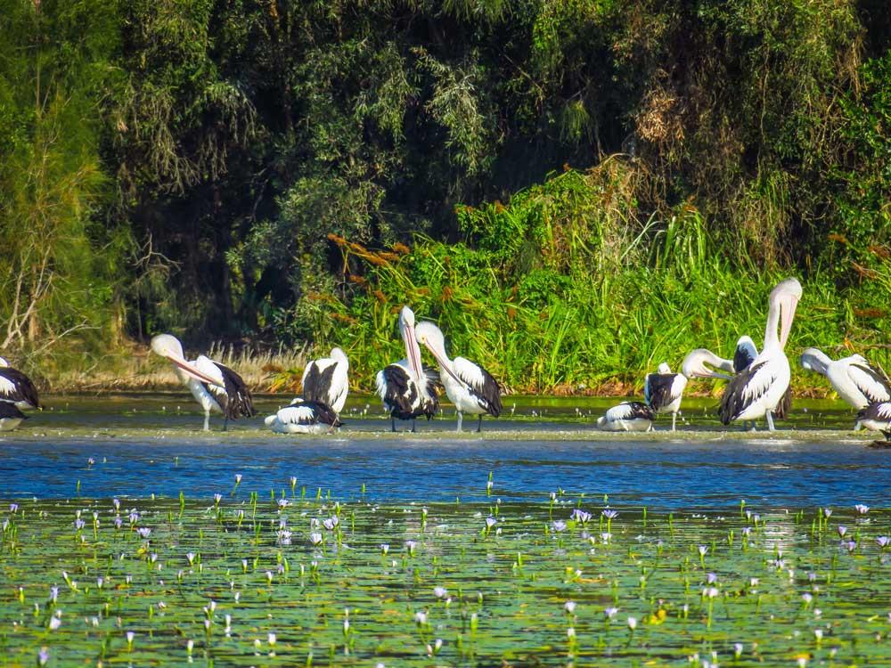 La faune des everglades de Noosa