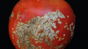 44-bacterial-canker-white-spots-tomato-UNAMGlobal