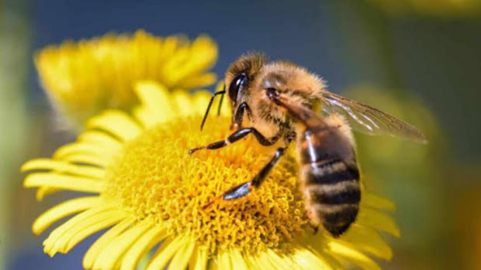 Advierten-extinsión-especies-de-abejas-UNAMGlobal