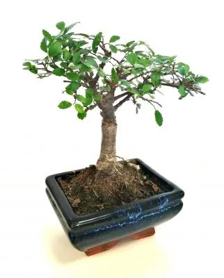 Come curare un bonsai unavitachevale